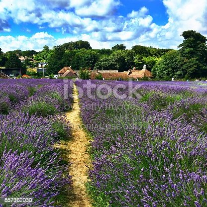 Family run certified Organic Lavender Farm situated in the lovely North Surrey Downs (United Kingdom)