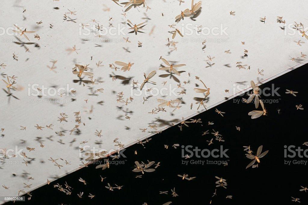 Mayflies of termite. stock photo