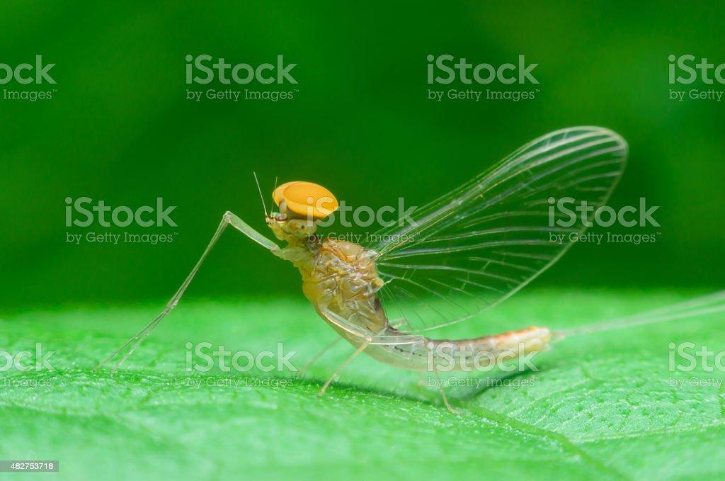 mayflies stock photo
