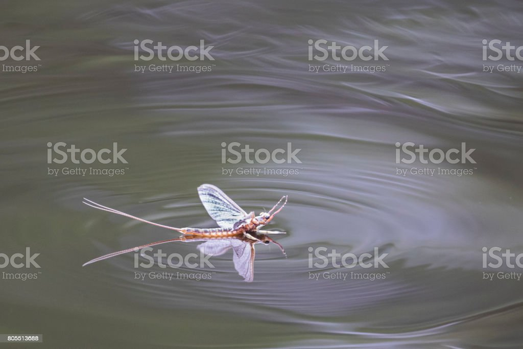 mayfly and ripple on still water stock photo