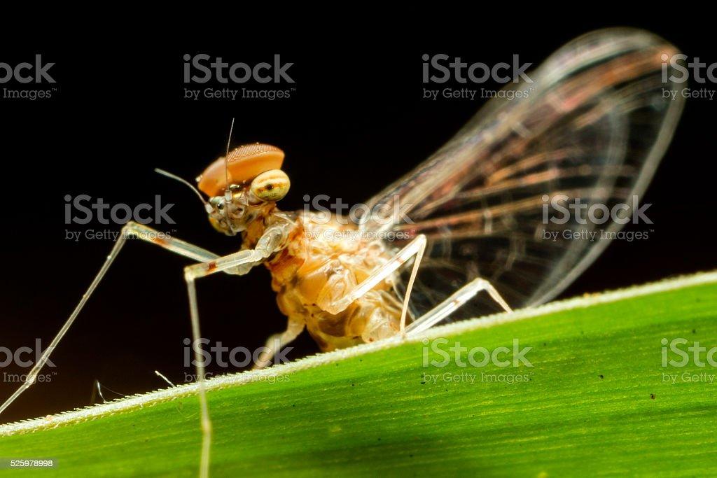 Mayfly Close-up stock photo