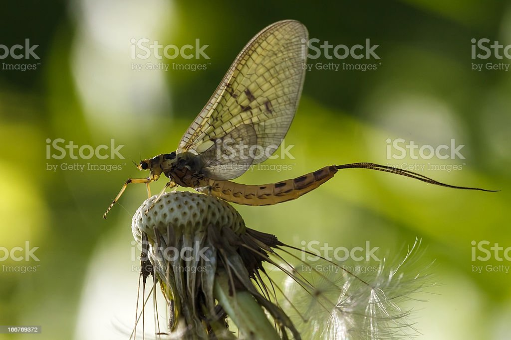 mayfly dun stock photo