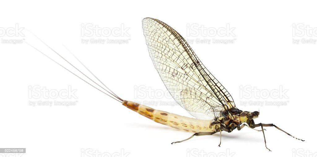 Mayfly, Ephemera danica, in front of white background stock photo