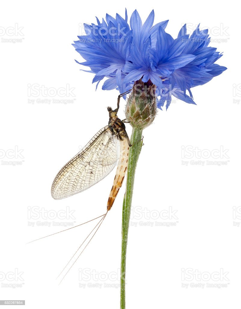 Mayfly, Ephemera danica, on flower in front of white background stock photo