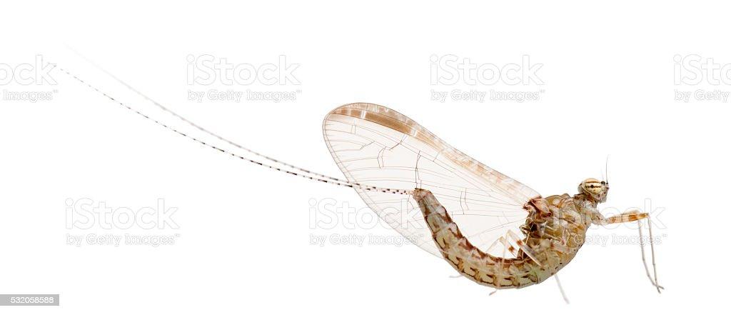 Mayfly, ephemeroptera, in front of white background stock photo