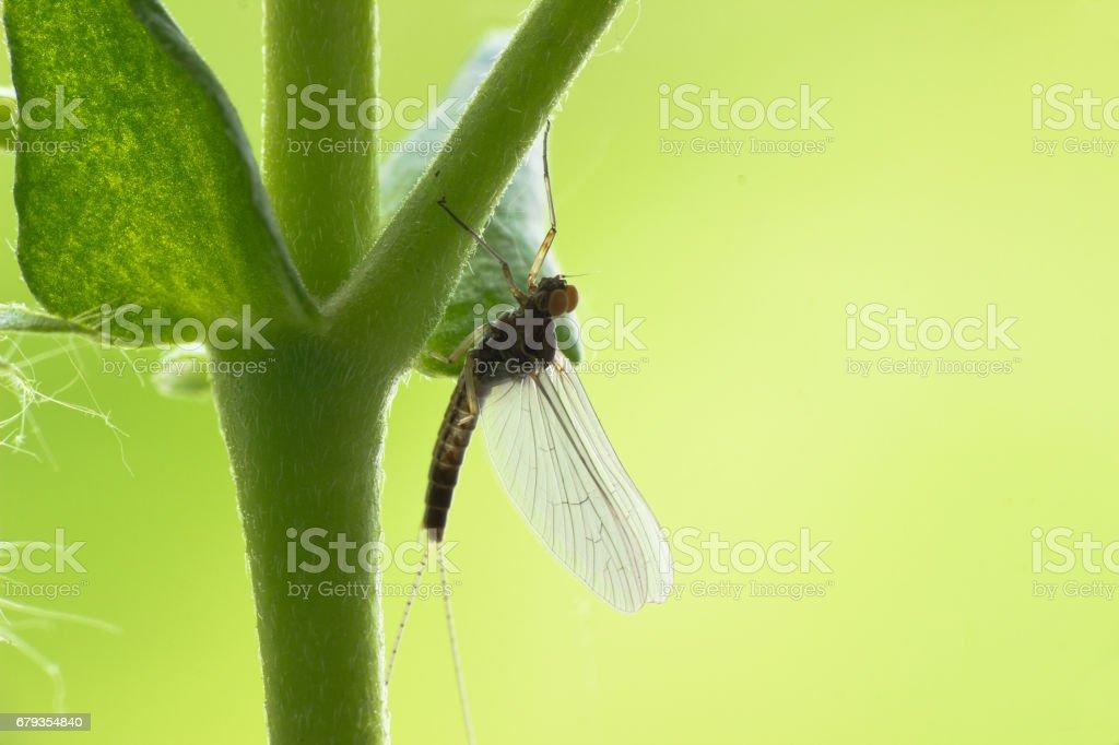 Mayfly Ephemeroptera royalty-free stock photo