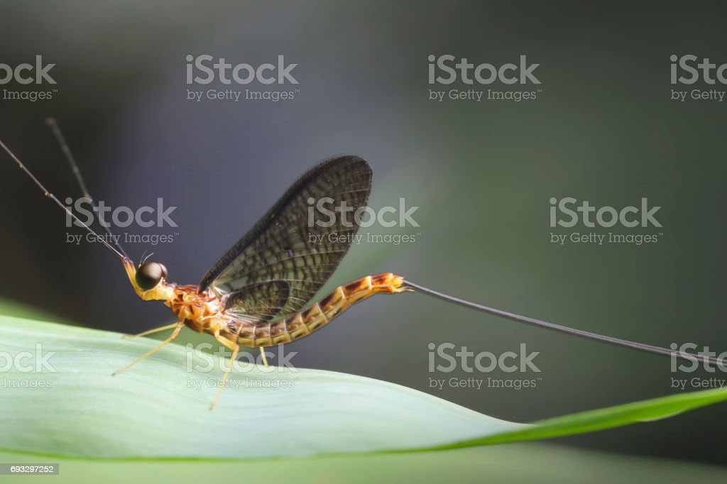 Mayfly in Thailand and Southeast Asia. stock photo