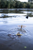 Mayfly (Polingenia longicauda) in the Tisza River