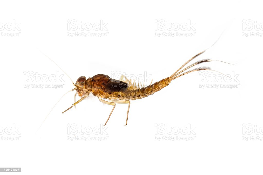 Mayfly nymph stock photo