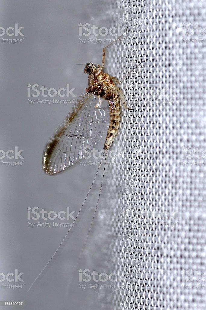 Mayfly on cloth royalty-free stock photo