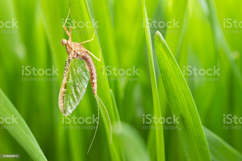 Mayfly on grass stock photo