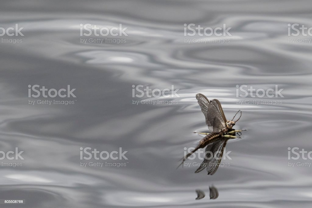 mayfly on smooth gray water stock photo