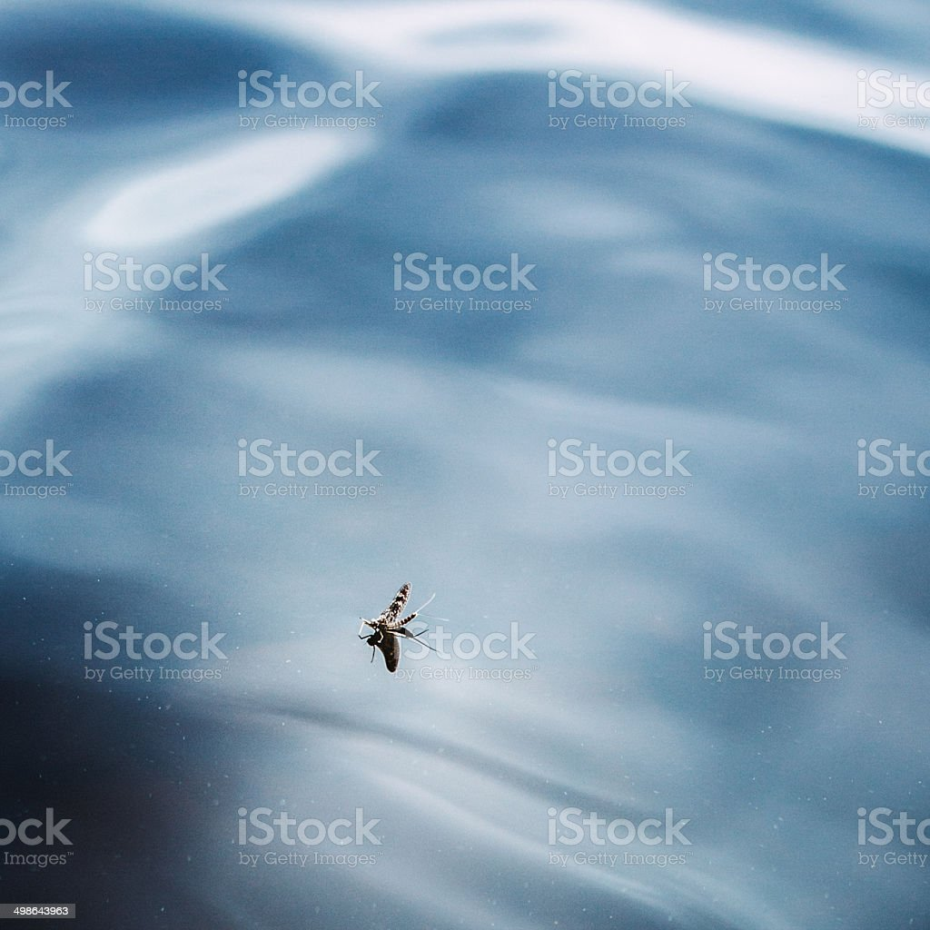 Mayfly on the Water stock photo
