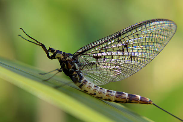 Mayfly Mayfly f/1.7 1/100sec iso-100 55mm abjure stock pictures, royalty-free photos & images
