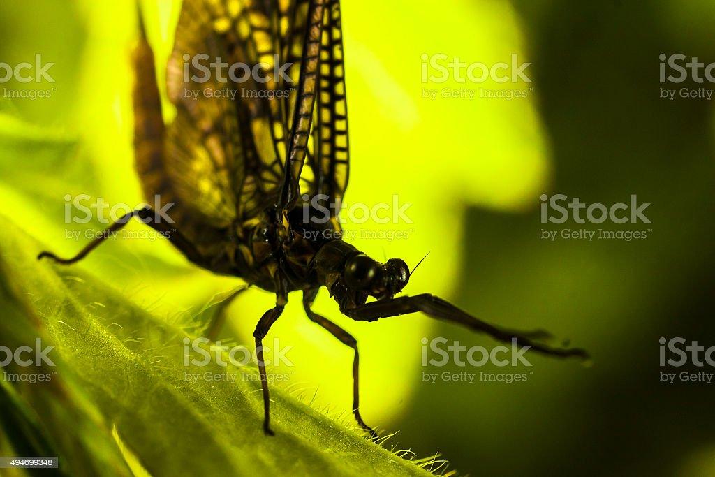 mayfly (Ephemera  vulgata) stock photo