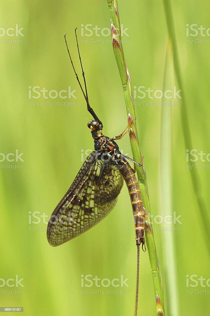 mayfly stock photo