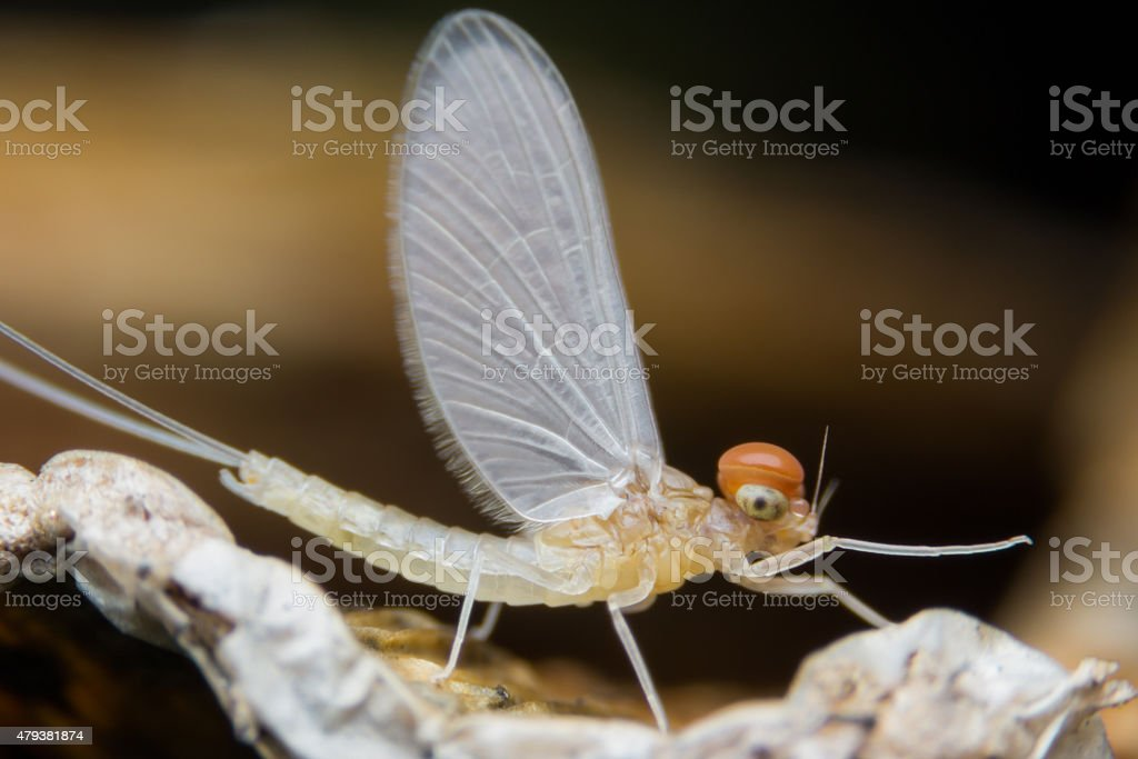 Mayfly Super Macro, Insect in Nonthaburi Thailand stock photo