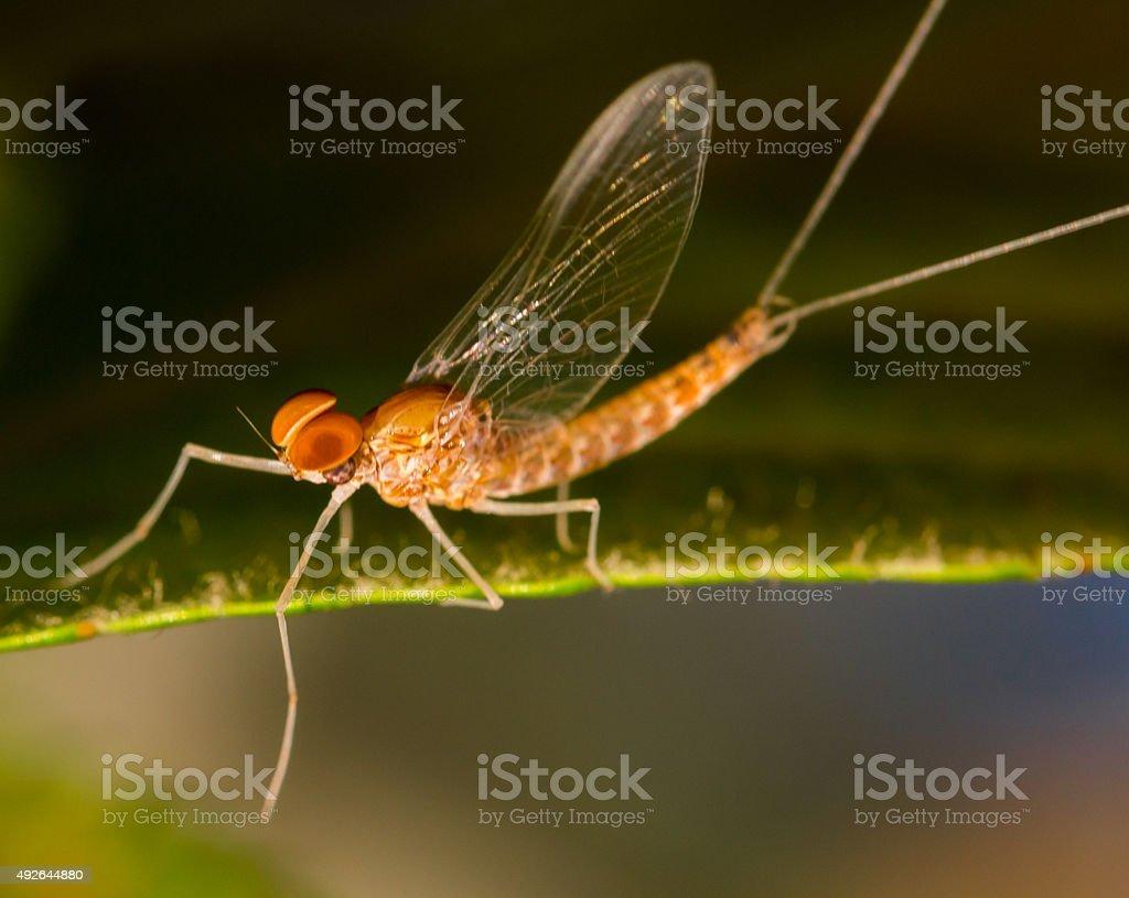 Mayfly with Orange Eyes on Green Leaf stock photo