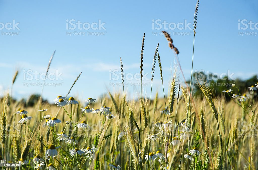 Mayweed flowers in a corn field stock photo