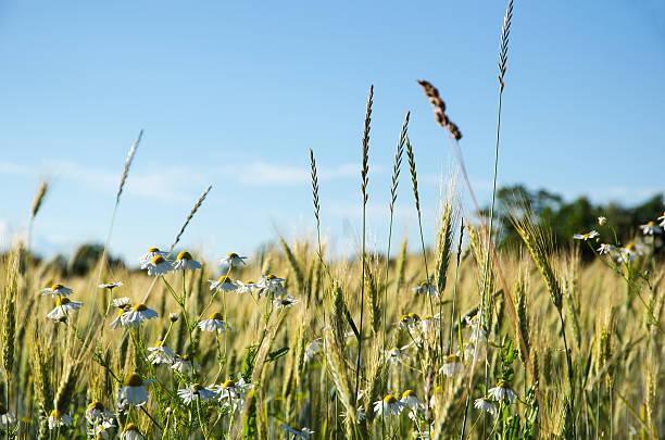 mayweed flowers in a corn field - summer sweden bildbanksfoton och bilder