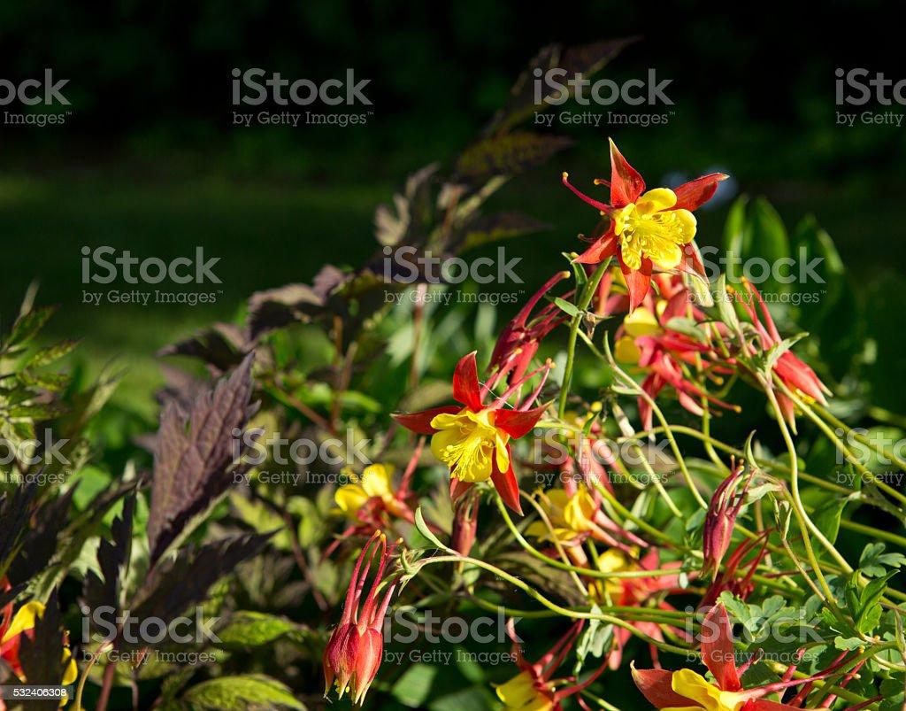 McKana's giant columbine red and yellow flower stock photo