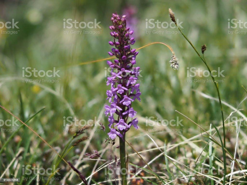 Mücken-Händelwurz, violette Orcdhidee in den Bergen stock photo