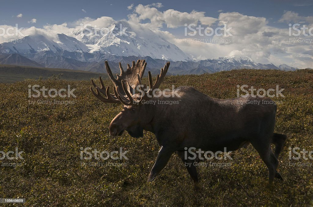 McKinleyMoose stock photo