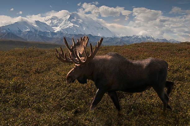 mckinleymoose - denali national park bildbanksfoton och bilder