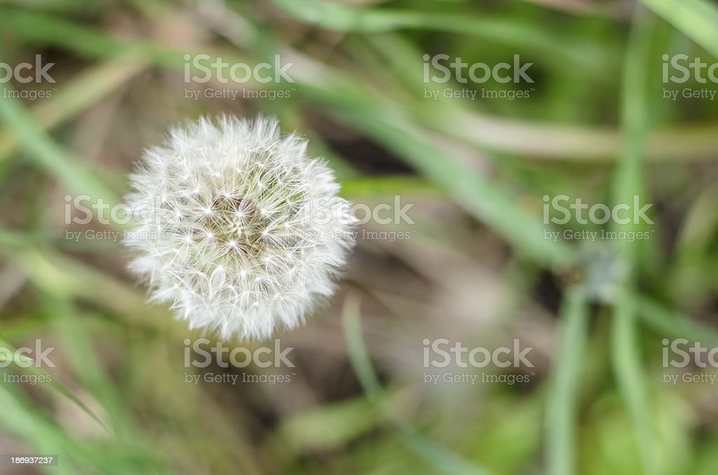 Meacamas - Dandelion royalty-free stock photo