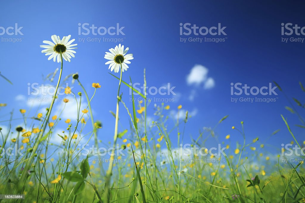 Meadow and daisy flowers royalty-free stock photo