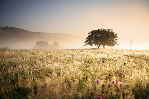 Meadow and Lonely Tree after Sunrise - Shallow DOF stock photo