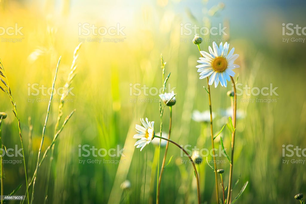 Meadow and spring Daisy Flowers on out of focus background stock photo