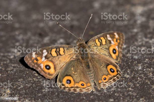 Meadow argus butterfly picture id1198930482?b=1&k=6&m=1198930482&s=612x612&h=h9yugwqhigeq9knji6c61g2 eg itv2ziwbhiii9c5g=