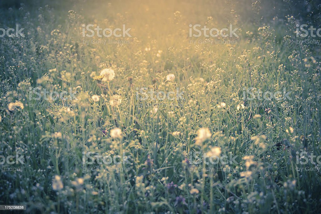 meadow at sunset with flowers royalty-free stock photo