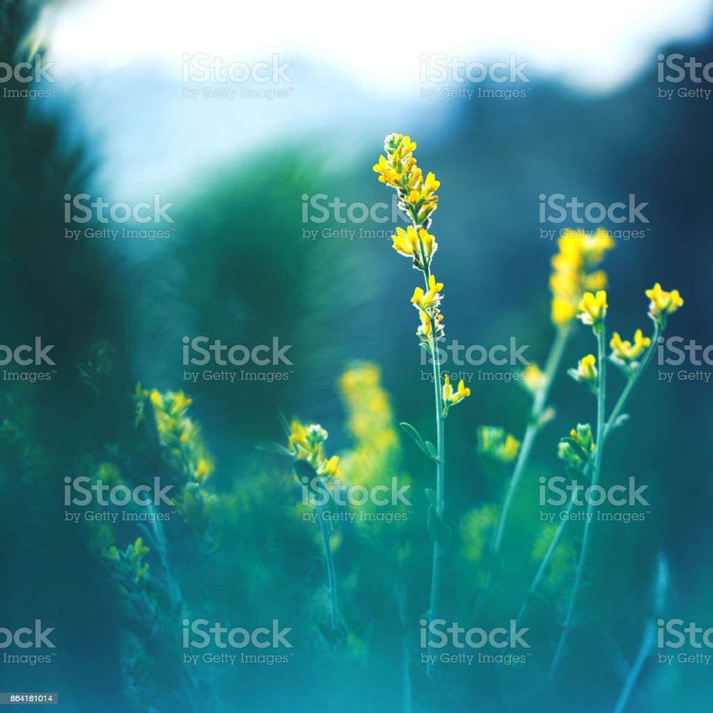meadow beautiful yellow flowers on natural mystery dark green background in forest. Morning fresh outdoor summer photo royalty-free stock photo