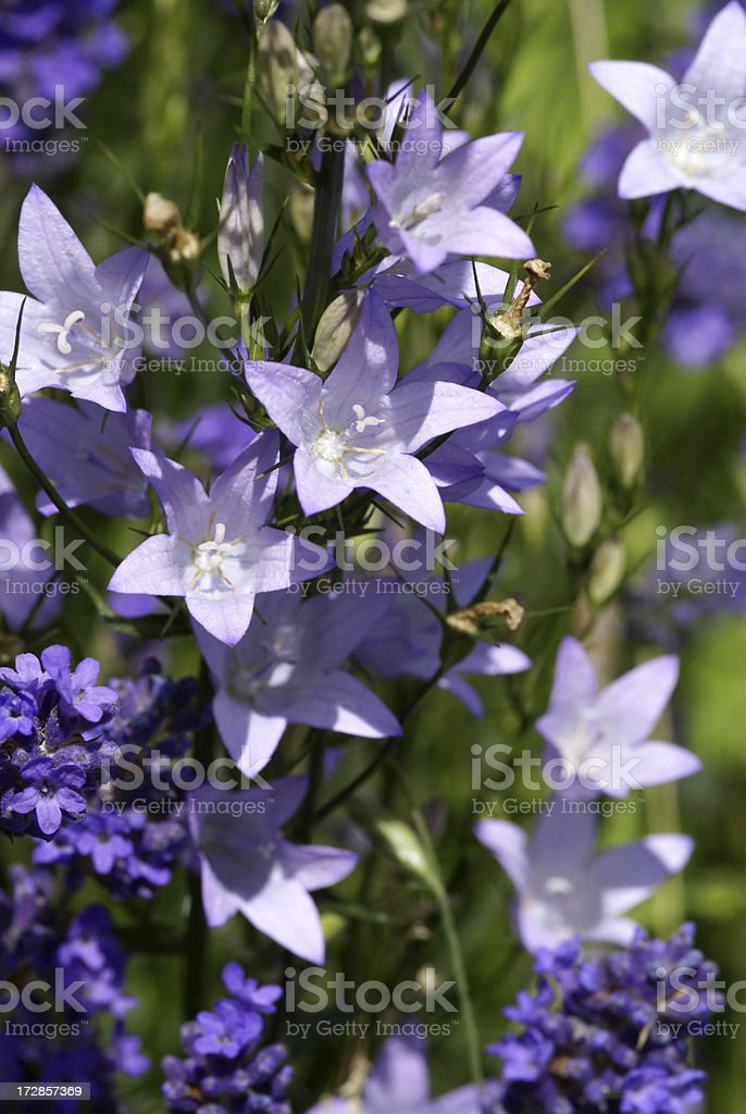 Meadow bellflowers in front of lavenders royalty-free stock photo