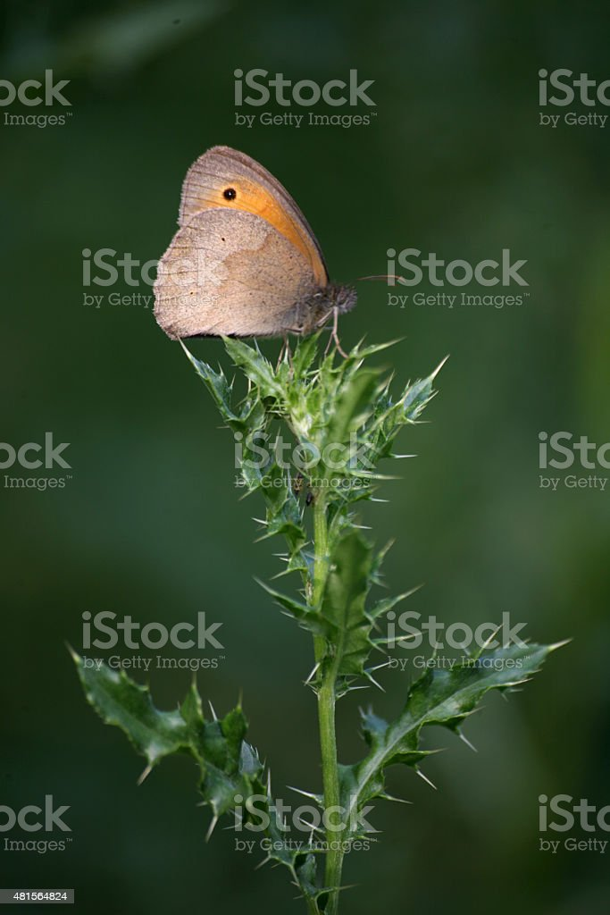 Meadow brown stock photo