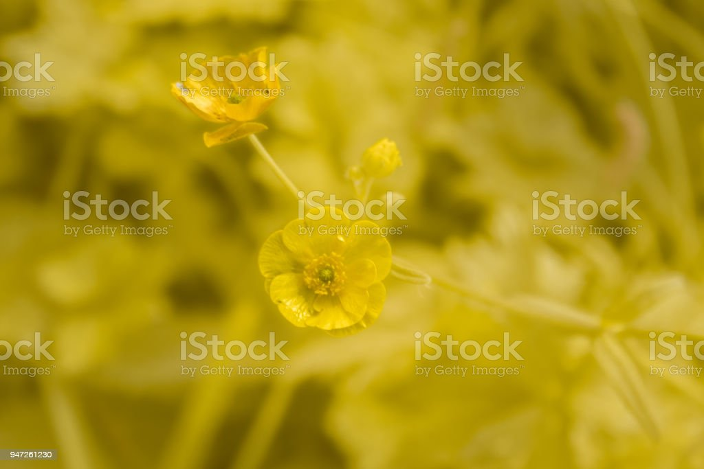Meadow Buttercup Flower on a Yellow Background stock photo