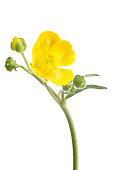 meadow buttercup (ranunculus acris) isolated on white