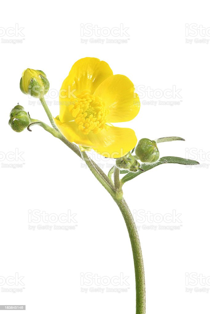 meadow buttercup (ranunculus acris) isolated on white stock photo