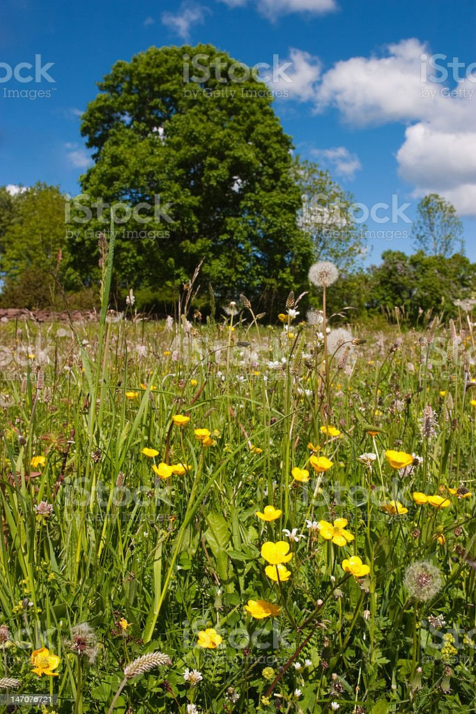 Meadow buttercup royalty-free stock photo