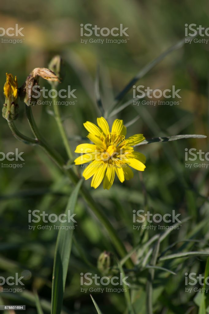 Meadow Buttercup (Ranunculus acris) stock photo
