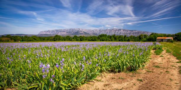 iris meadow close  to sainte victoire mountain near aix en provence. - aix en provence photos et images de collection