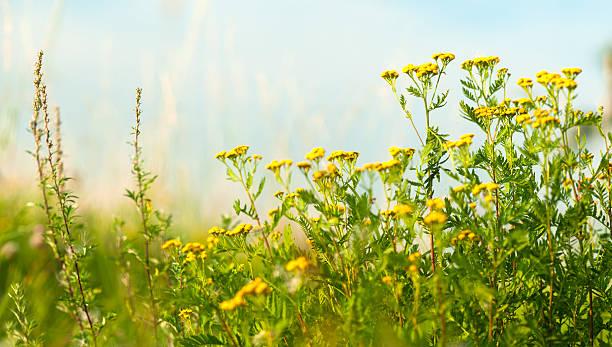 Meadow close-up with Tansy (Tanacetum vulgare) and mugwort (Artemisia vulgaris). stock photo