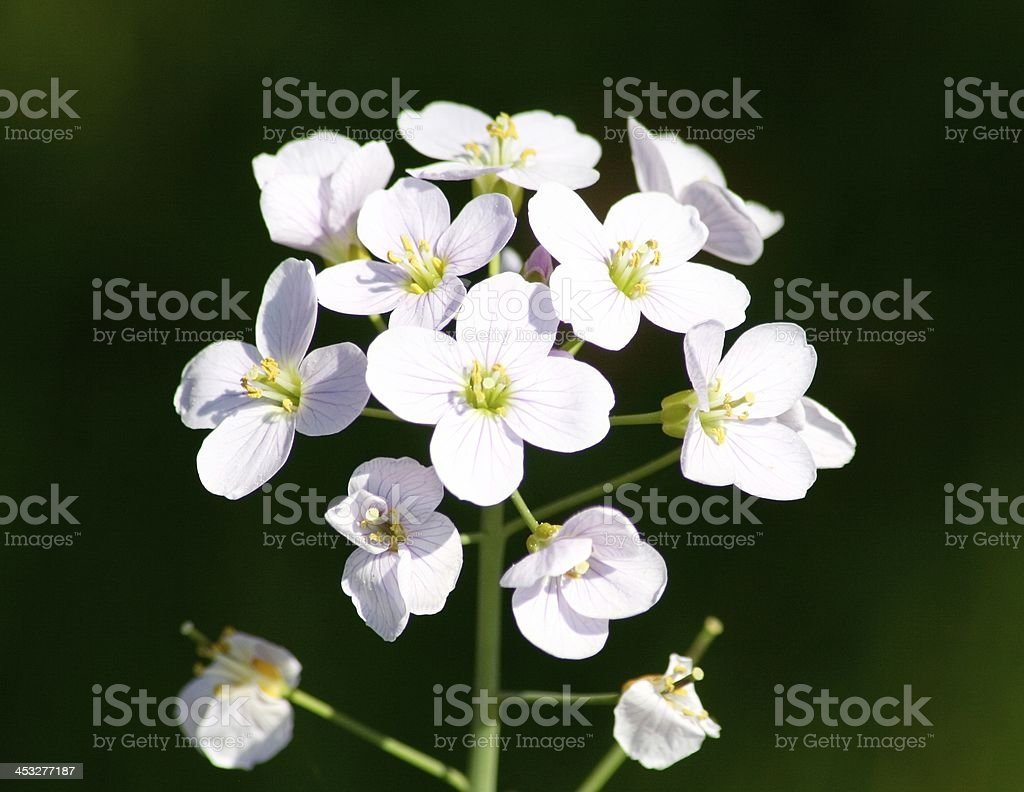Meadow cress  (cardamine pratensis) stock photo