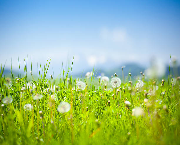 Meadow - dandelion, flowers and green grass stock photo