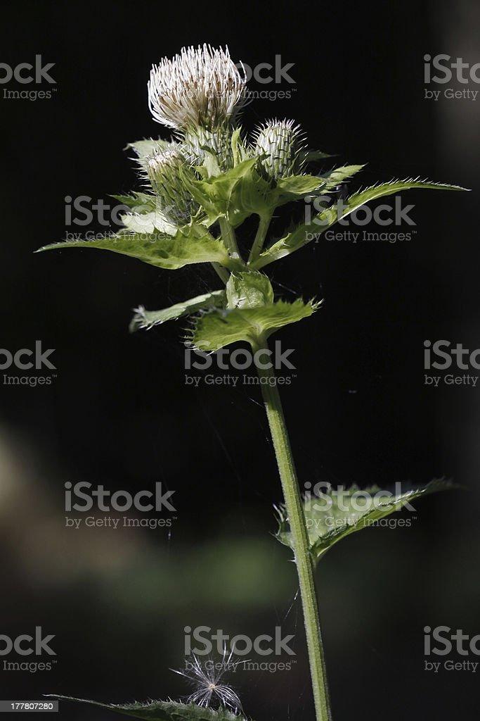Meadow distaff stock photo