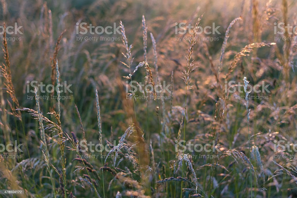Meadow during a Summer Evening stock photo