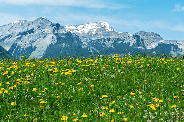 Meadow, flower field and mountain alps Meadow, flower field and mountain alps in Switzerland swiss alps stock pictures, royalty-free photos & images