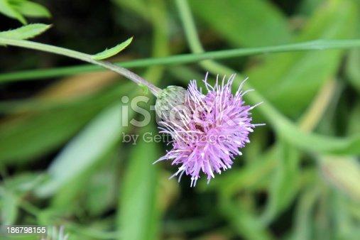 Meadow flower